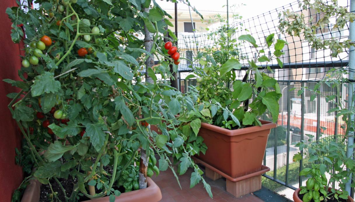 Sostegni Per Pomodori In Vaso avere ottimi pomodori in vaso biologici sul balcone di casa