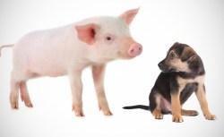 L'amicizia tra il cagnolino e il maialino che commuove il web