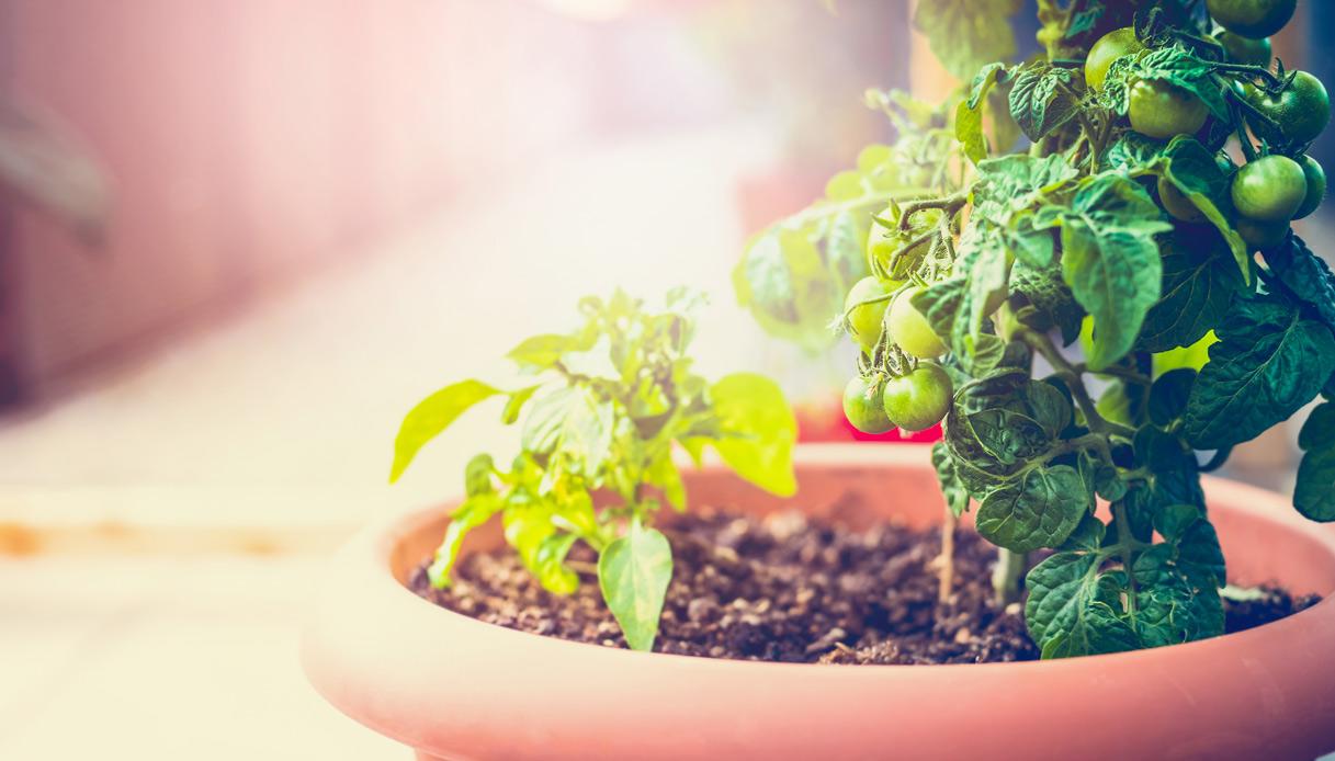 Come Coltivare Pomodori Sul Balcone orto in balcone: come far nascere verdura nel tuo terrazzo