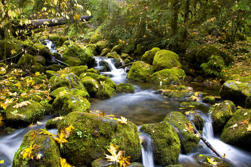 Water Cascading over Green Moss covered Rocks with Fall maple Leaves