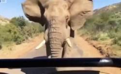 """Schwarzenegger """"inseguito"""" da un elefante. Il video è virale"""