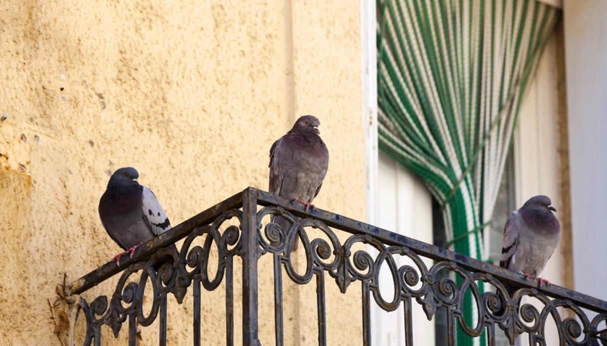 Nido Di Tortore Sul Balcone come allontanare i piccioni | dilei