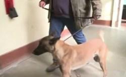 Cancro al seno: cani addestrati a riconoscerlo