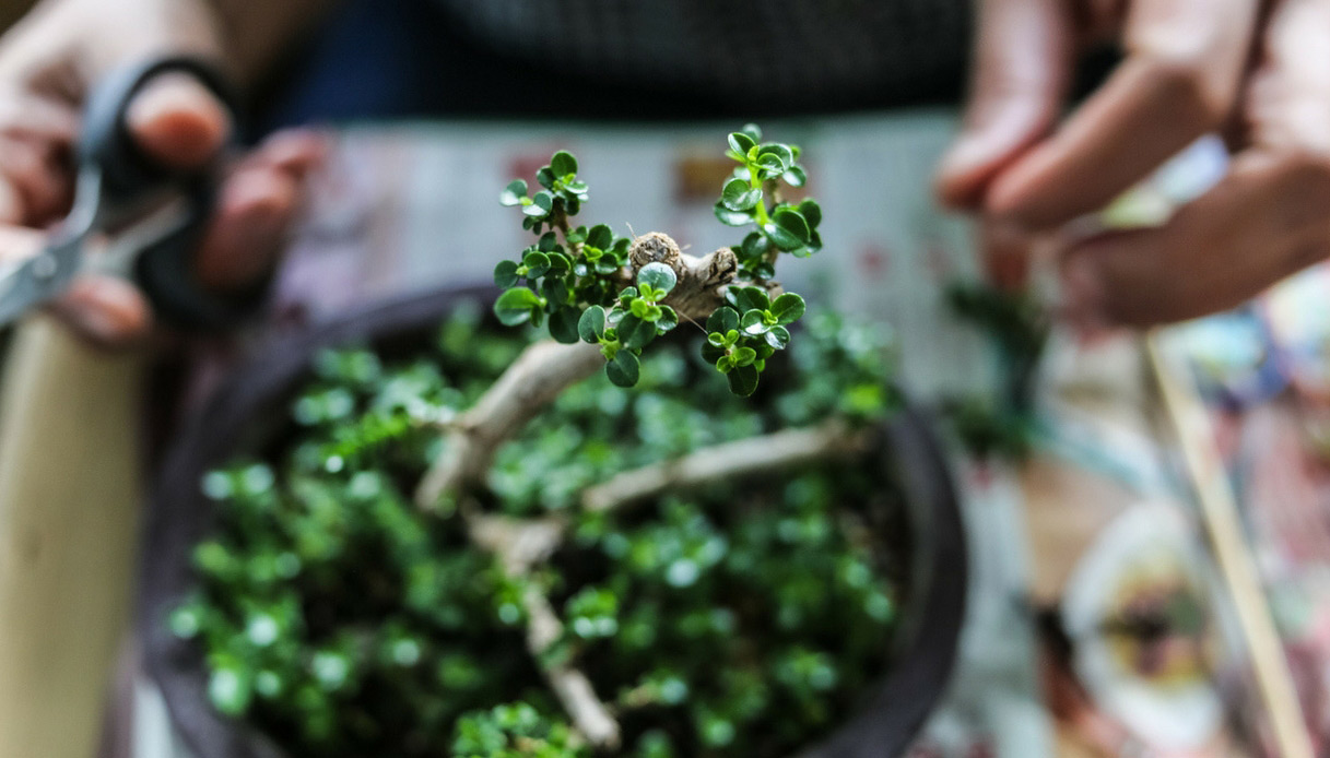 bonsai-consigli-per-curarlo-potatura