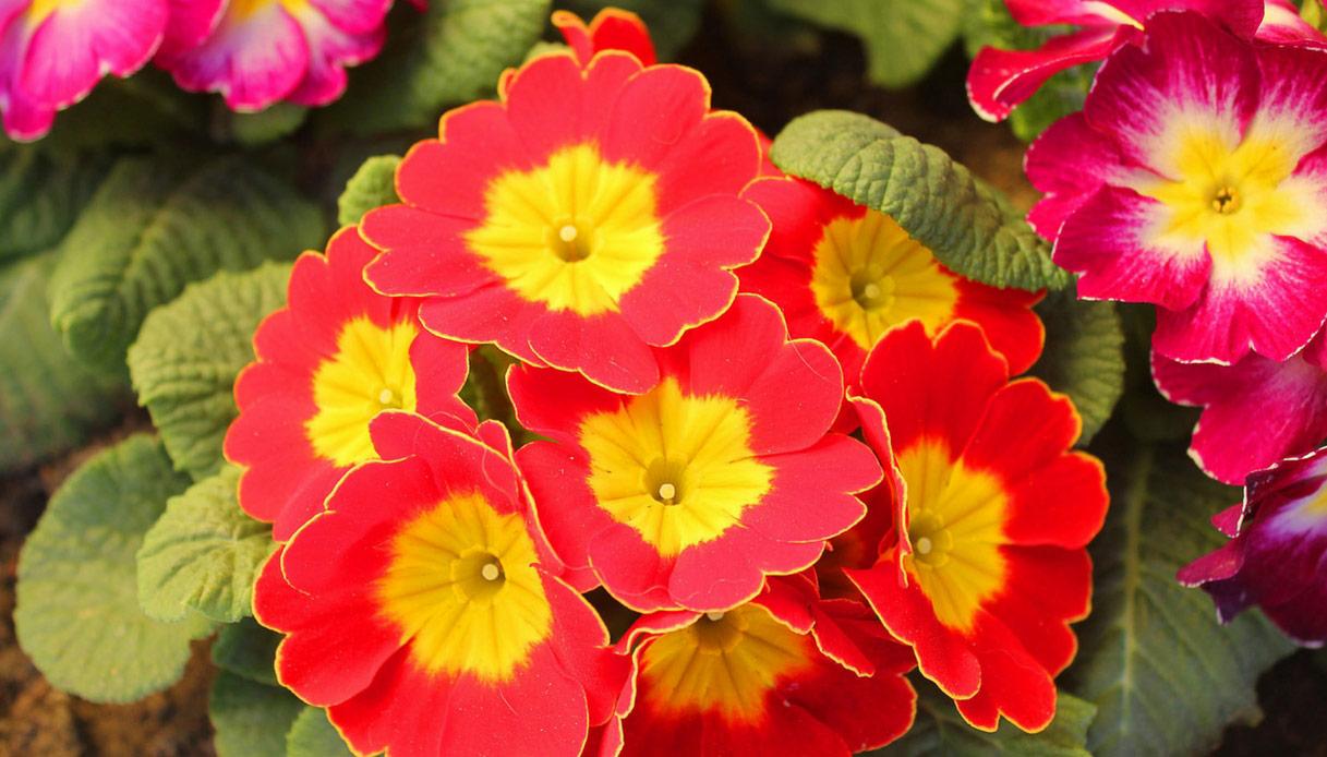 Piante Perenni Da Fiore fiori perenni: quali sono i più belli da avere in giardino