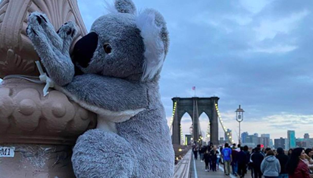 Cosa ci fanno dei koala per le strade di New York