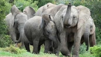 Nascere senza zanne per sfuggire ai bracconieri: la resilienza degli elefanti