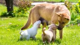Cani: accoppiamento e gravidanza